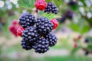 Ilustrasi buah manfaat buah blackberry untuk kesehatan